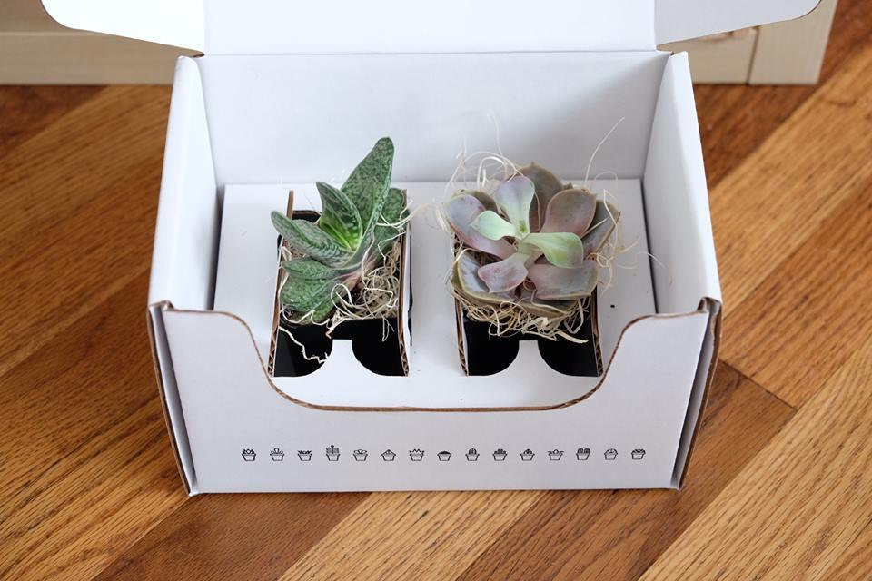 two succulents in a clean white box for delivery